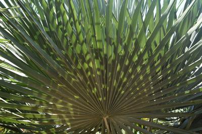 WINDMILL PALM Trachycarpus fortunii cold hardy BULK 500 seeds