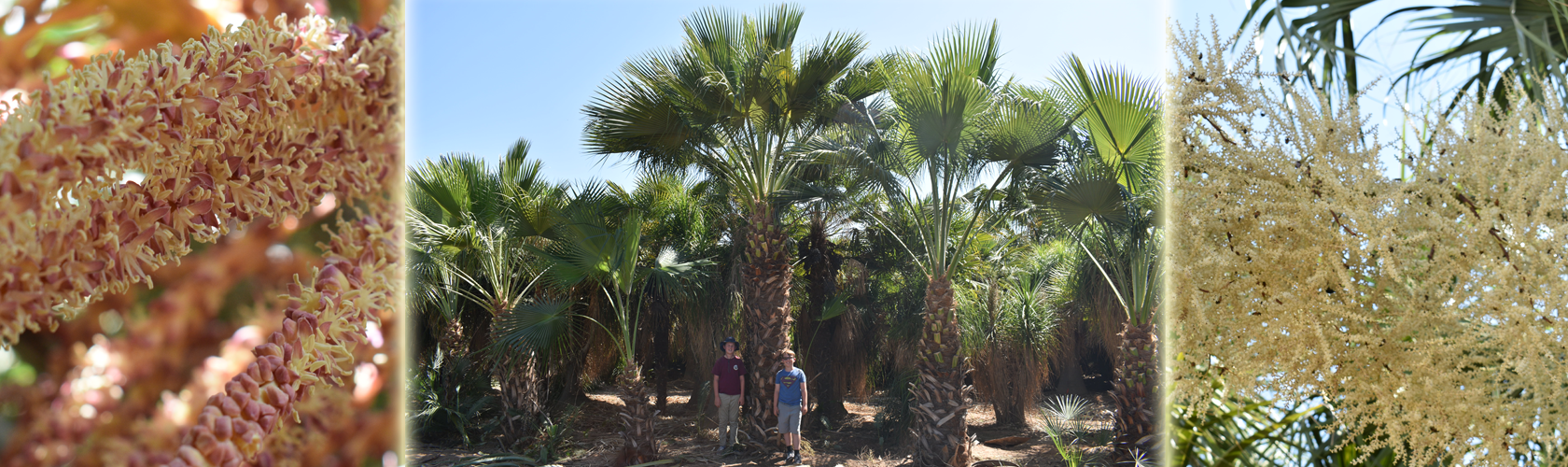 Guadalupe palm trees, Brahea edulis, at Madera grove