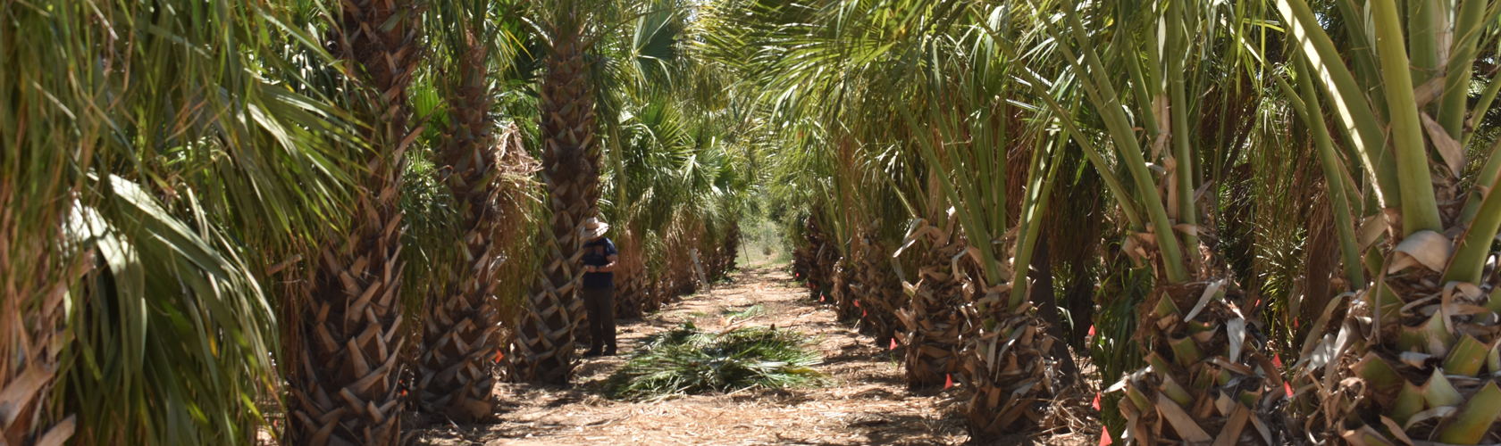 Row of Sabal palm trees at Madera grove