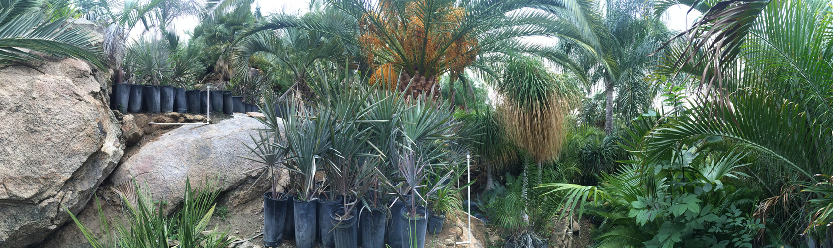 Various palm trees and cycads at Madera Palms nursery