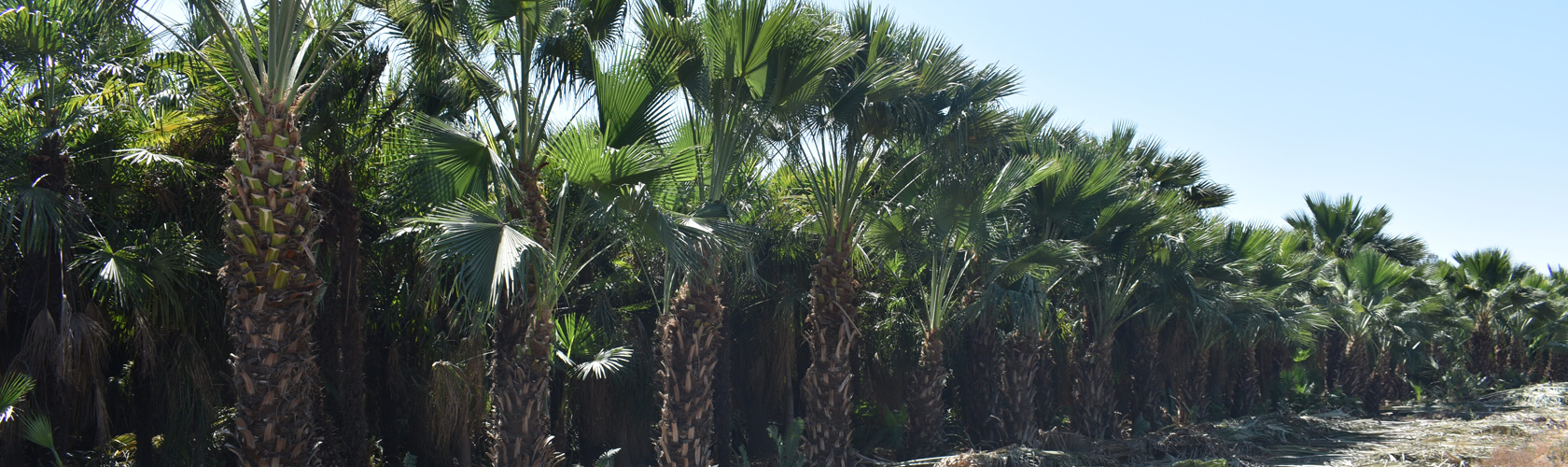 Row of Guadalupe palms at Madera grove