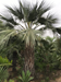 Big Mexican Blue palm, Brahea armata