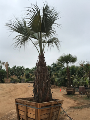 Blue Brahea armata palm tree