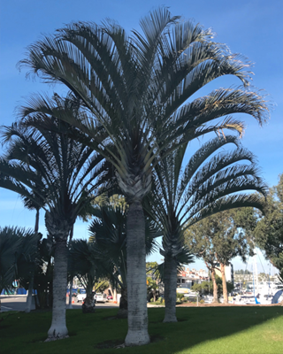 Triangle Palms in Newport Beach, CA